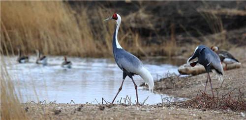 4只白枕鹤现身泰山西湖景区 为国家一级重点保护野生鸟类